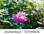 purple dahlia in an autumn... | Shutterstock . vector #737490676