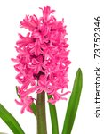 Pink Hyacinth Isolated On Whit...