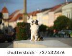 australian shepherd | Shutterstock . vector #737532376