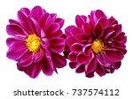pink flowers dahlias on white... | Shutterstock . vector #737574112