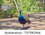 beautiful peacock in a park on...   Shutterstock . vector #737581966