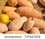 banana squash plants are a...   Shutterstock . vector #737627026
