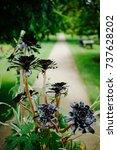 Small photo of Beautiful dark Aeonium Zwartkop black roses in summer gardens by path
