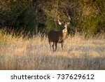 this large white tail buck had... | Shutterstock . vector #737629612