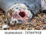 Dead Grey Seal. Horrific Zombie ...