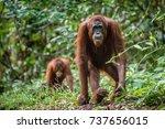 Bornean Orangutan In The Wild...