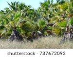 palm trees in spain   Shutterstock . vector #737672092