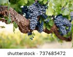Red Wine Grapes On Old Vine...
