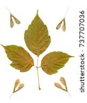 Small photo of Dried autumn leaves and seeds Maple or American maple (lat. Acer negundo) isolated on the white background. Herbarium. Autumn background.