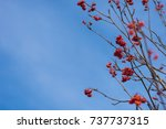 branches of rowan on the right... | Shutterstock . vector #737737315