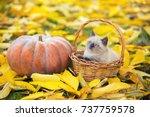 Stock photo little kitten sitting in a basket near big pumpkin kitten sitting in a garden on fallen yellow 737759578