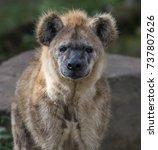 spotted hyena | Shutterstock . vector #737807626