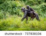 bonobo cub on the mother's back ... | Shutterstock . vector #737838106