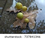 Oak Leaves With Galls In A...
