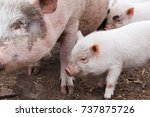 fertile sow and piglets... | Shutterstock . vector #737875726