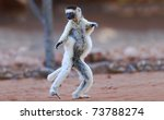 Stock photo verreaux s sifaka propithecus verreauxi dancing in the berenty nature reserve southern madagascar 73788274