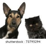 Stock photo persian kitten and a mixed breed dog in front of white background 73795294