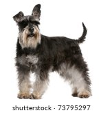 Miniature Schnauzer  6 Years...