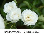 Close Up Of White Rose.