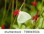 Small photo of Male Lemon Emigrant (form-hilaria) butterfly is feeding on red snakeweed (Stachytarpheta indica) plant