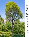 Small photo of An isolated Maple tree in Indian Himalayas in Himachal Pradesh, India. Acer is a genus of trees or shrubs commonly known as maple. The genus is placed in the Sapindaceae family.