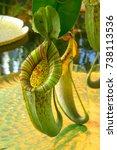 pitcher plant. carnivorous plant | Shutterstock . vector #738113536