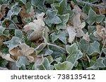 Frosty Ivy Plants In Winter...