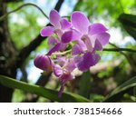 Small photo of Aerides crassifolia Par. ex. Burb.Beautiful wild orchids is very fragrant.