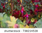 Fuchsia Flowers  Ireland