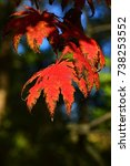 Small photo of Bright red and orange autumn color of leaves of Korean maple tree, latin name Acer Pseudosieboldianum