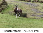 Blesbok On A Grass Slope Being...
