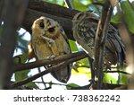 collared scops owl otus...   Shutterstock . vector #738362242