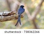black drongo dicrurus...   Shutterstock . vector #738362266