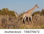 giraffe in nature   Shutterstock . vector #738370672
