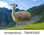 A white llama  lama glama  ...