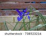 Brilliant Blue Blooms Of Dutch...