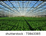 The rows of young plants...