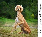 saluki sighthound purebred dog  | Shutterstock . vector #738705262
