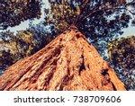 Sequoiadendron Giganteum  Gian...