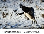 Canada Goose Landing On The...