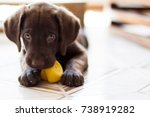 Stock photo chocolate labrador puppy 738919282