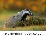 european badger looking for... | Shutterstock . vector #738931432