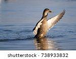 A Mallard Duck Drying Its...