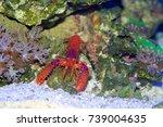 daum's reef lobster ...   Shutterstock . vector #739004635