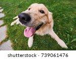 young purebred golden retriever ... | Shutterstock . vector #739061476