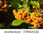 Pyracantha Coccinea Orange Bus...