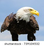 Young Bald Eagle Ready To Fly