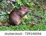 Small photo of Red rumped Agouti, (Dasyprocta leporina), feeds on a seed, Amazon Rain Forest, Tambopata