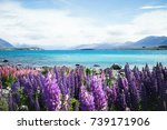 Colorful Lupin Flowers Near...