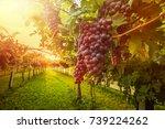 grape harvest | Shutterstock . vector #739224262